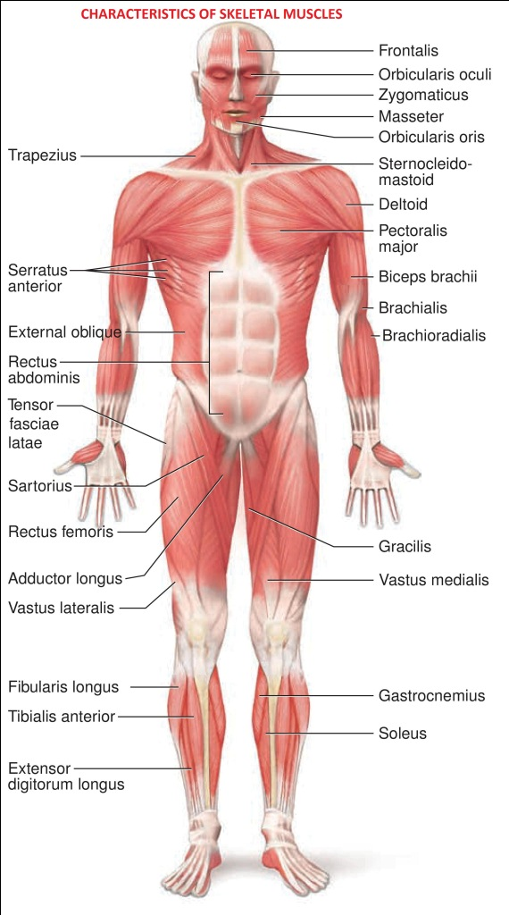Trunk flexion manual muscle test chart