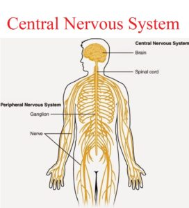 Central nervous system yoga teacher training course in bangalore blank diagrams of nervous systems human body nervous system diagram central nervous system human human anatomy diagram ccuart Images