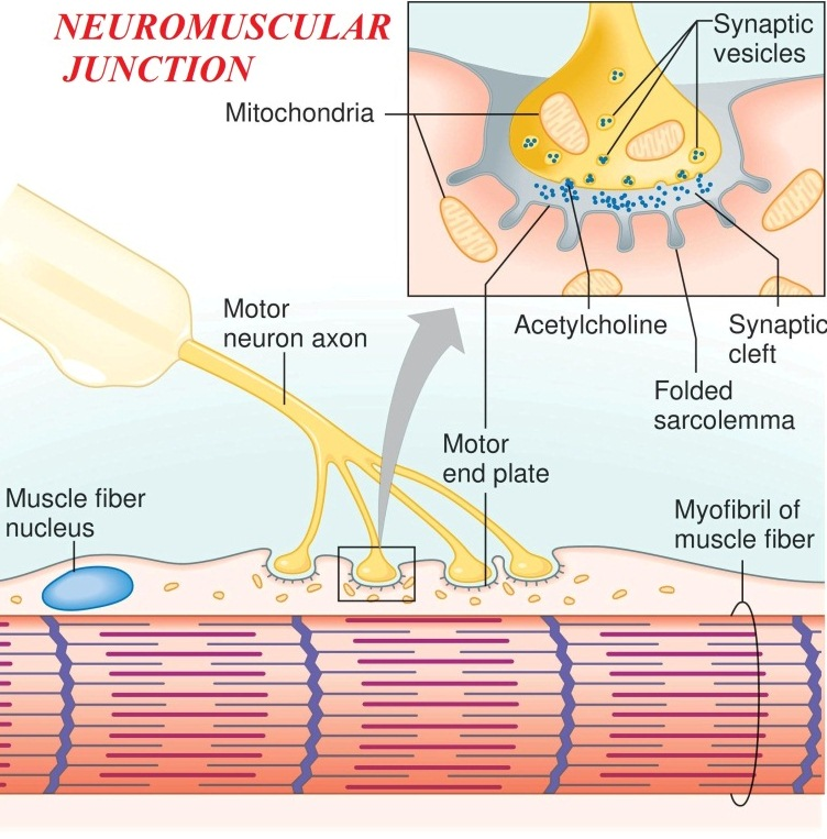 Anatomy of neuromuscular junction